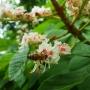 Med kaštanový